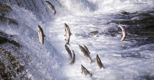 Kenapa Ikan Salmon Berenang Melawan Arus - VIPDomino Lounge