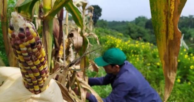 Jagung PELANGI Tumbuh Subur di Cianjur