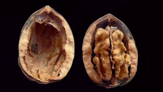 Lawan Proses Penuaan, Inilah 5 Manfaat Sehat Kacang Walnut